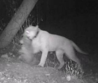 d4f12fa22d789 Retour du réel   un puma sauvage tue un koala dans un zoo - Egalite ...