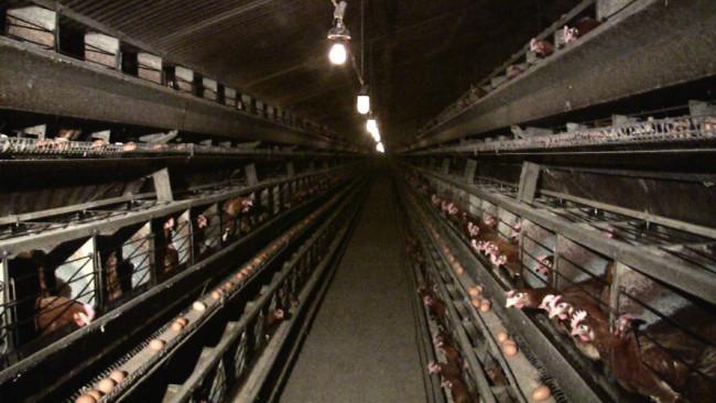 Aux infos du nain autarcie comment lever des poules - Comment elever des poules ...